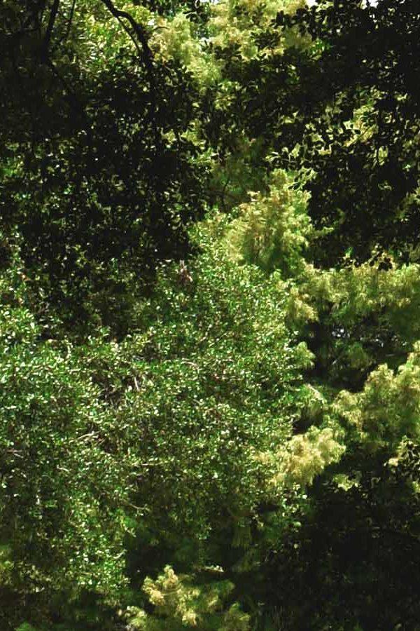 Downtown Houston Oak Trees